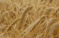 Saudi Arabia's Strategic Barley Reserves At Four Million Tonnes