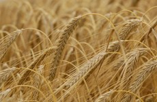 Saudi Arabia's Strategic Barley Reserves At Four Million Tonnes
