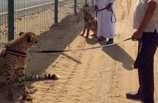 New UAE draft law calls for ban on exotic animal ownership