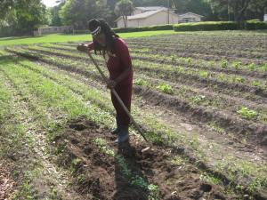 Queen Quet works in the fields the traditional Gullah/Geechee way.
