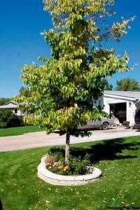 Town Council Authorizes 2015 Boulevard Tree Replacement Program Government GULL LAKE Town Beautification  Town Council Environment