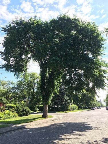Protect Your Elm Trees: Don'T Prune From April 1 To August 31 Government SouthWest Saskatchewan  Saskatchewan Government of Saskatchewan Environment