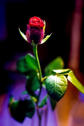 Rose_DHK0817