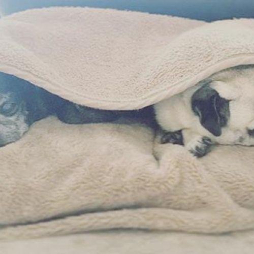 おはよう〜︎ #おはよう #パグ #鼻ぺちゃ#黒パグ #フォーン#犬 #老犬 #dog #犬バカ部 #หมา #น่ารัก #青葉台マッサージ #青葉区 #青葉台#タイ古式マッサージ#リフレ #アロマオイル#癒し #空間 #インテリア