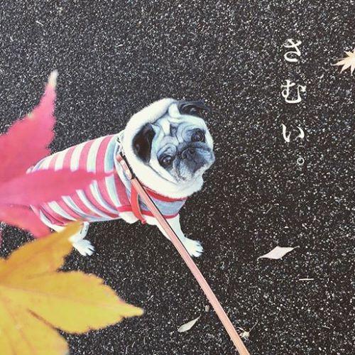 12月︎平日営業時間21:00まで延長中※完全予約制---------#goodmorning#おはよう #散歩#寒くて歩かない #笑#抱っこして#のんびり #パグ #犬 #鼻ぺちゃ#黒パグ #フォーン #老犬#pug #dog #かわいい #cute #眠い #いびき犬 #pug#青葉台 #田園都市線#青葉台マッサージ#タイ古式マッサージ#タイ式リフレクソロジー#アロマオイルトリートメント#リラックス #癒されたい#リラクゼーションサロン #グミ#疲れた らグミ