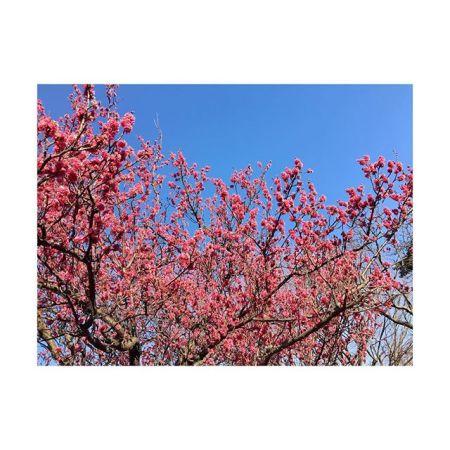【立春】まだまだ寒いけど梅の季節︎———#春 #立春 #梅 #spring #flower #pink#ฤดูใบไม้ผลิ #青葉台マッサージ #田園都市線 #青葉台#駅近サロン#リラクゼーションサロン #gumi#タイ古式マッサージ#タイ式リフレクソロジー #タイ古式 × #アロマ#リラックス #リフレッシュ#こだわり #空間 #interior#simple #design #asian #thai#癒し #パグ #dog #pug