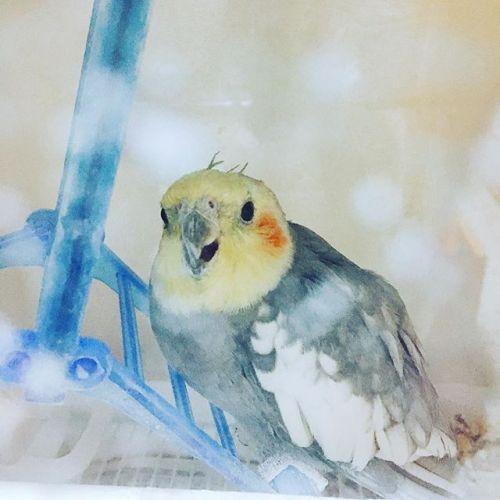 【名前はこじろう🦜】名前呼ぶと振り向く。ちゃんとわかってる。かわいい☻—————————【リラクゼーションサロンGUMI】横浜市青葉区青葉台1-14-1第二青葉台ビル地下一階045-507-4710————————— #義理実家 #鳥 #bird #インコ#可愛い #cute #instagood #colour #thai #タイ #trip #旅行 #バンコク#横浜 #青葉区 #マッサージ #田園都市線 #massage#リラクゼーションサロン グミ#タイ古式マッサージ#タイ式リフレクソロジー #タイ式 × #アロマ#interior #タイ雑貨#simple #パグ #dog #pug