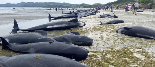 volunteers-whales-stranding-beached-golden-bay-765543