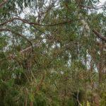 Koalas im Gumtree in Yanchep