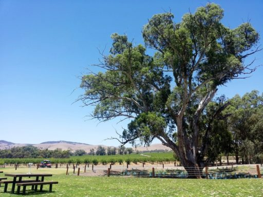 Jacobs Creek Winery Speisen unterm Gumtree