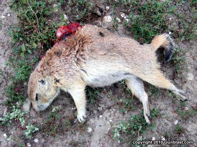 Shooting Prairie Dogs With Target Shooting Inc