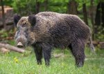 Texas to Allow Feral Hog Hunting Without License