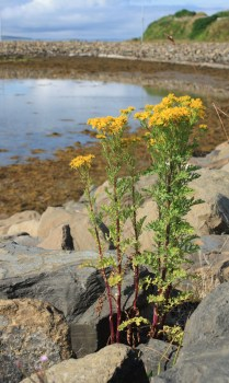 A bold yellow weed grows well between the rocks on the shore. The seaweed shoreline curves and the blue sky reflects in the bay.