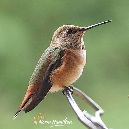 Anna's Hummingbird by Norm Hamilton, Photographer