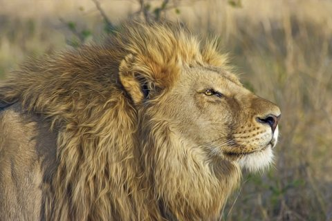 Lion-Pride-Hierarchy-Gone-Wrong-Lion-King-Summary-Essay