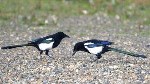 Magpies are often seen together in pairs