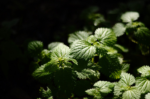 Uruguayan herbal remedy - Nettle by Tiago Fernandes