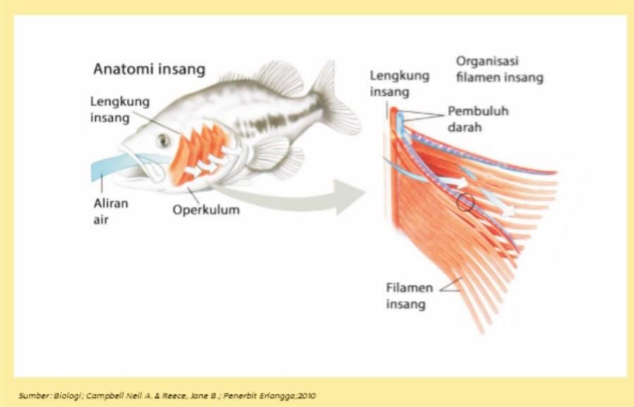 Alat dan Sistem Pernapasan pada Ikan (Pisces)