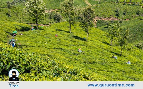 Gorgeous Trails For Tea Gardens Trekking In Munnar