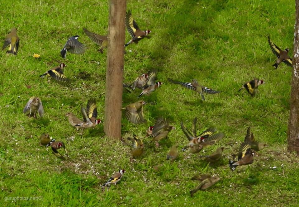 birdsgold finch flockcropped