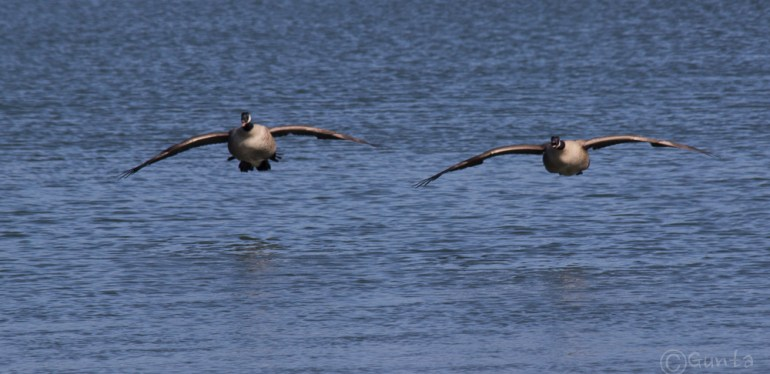 geese-2251
