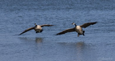 geese-2252