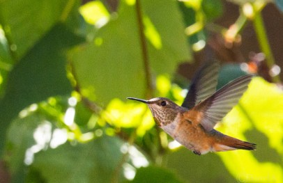 Rufous - female (the sun lit up the copper color in this lucky shot)