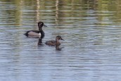 Ring-necked Duck pair