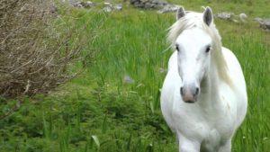 Pony Connemara