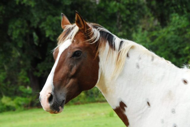 Caballo Paint horse