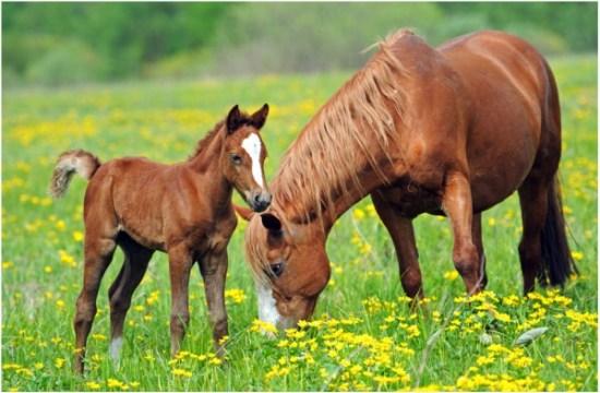 Plantas afectan-caballos-Gustavo-Mirabal