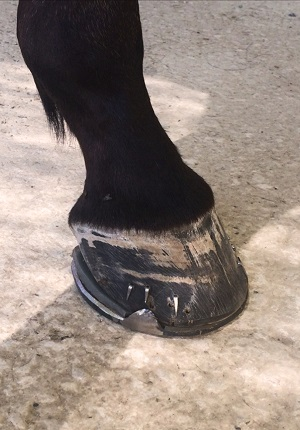 Hoof and horseshoes