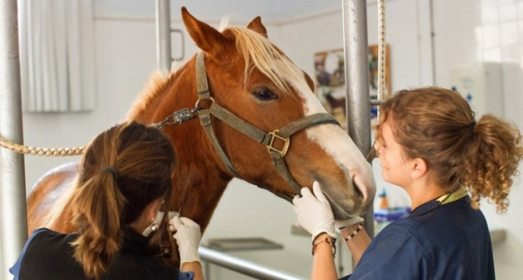 Vet cares to a horse