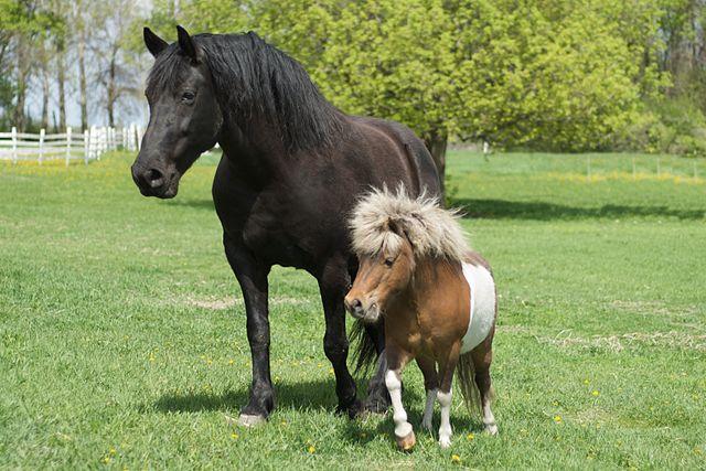 Miniature Horse Comparison