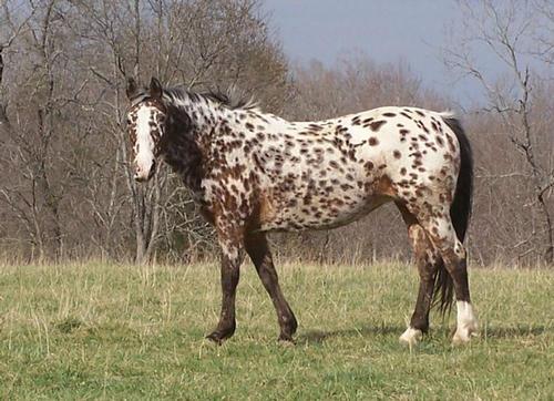 Apaloosa Layer on a Noriker horse breed