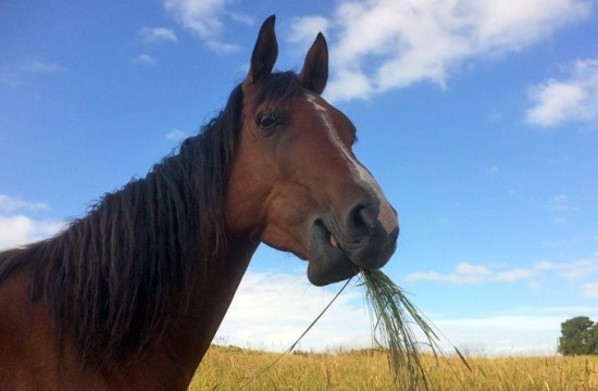 A horse feeding with no probiotics
