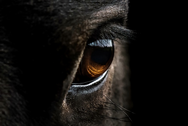 The eyes of the horse - Detect stress in horses