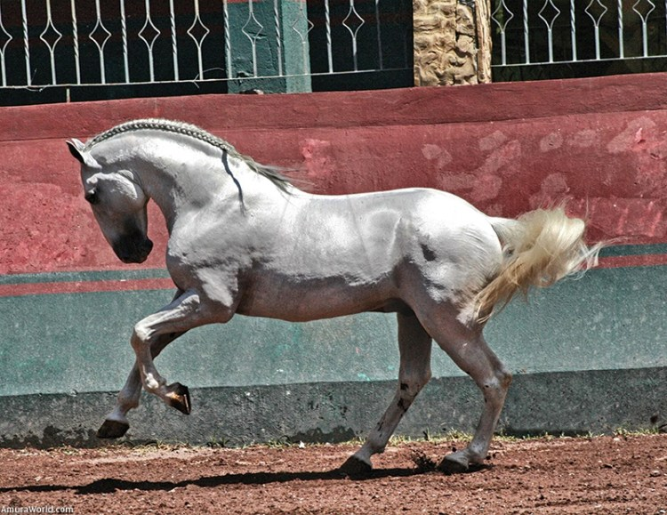 A Pure Blood Lusitano