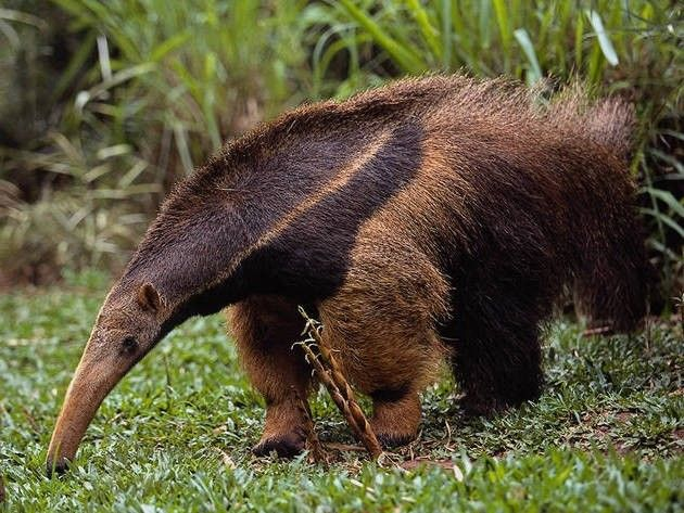 Anteater - Wildlife of Venezuela