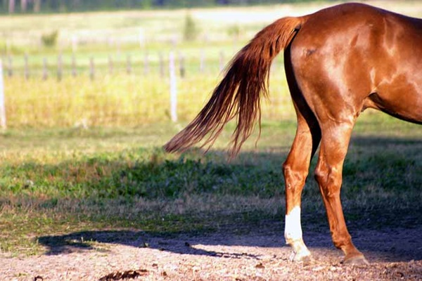 Care for a Healthy Horse Tail