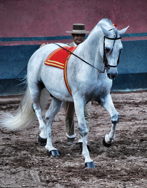 The Pure Blood Lusitano and its rider