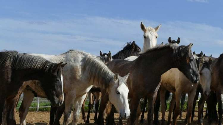 Horse breeds from the American Continent