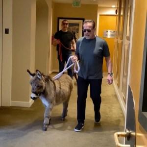 Arnold Schwarzenneger paseando a su mini burro