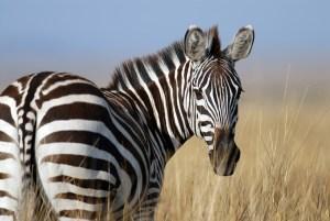 Zebras - A peculiar animal