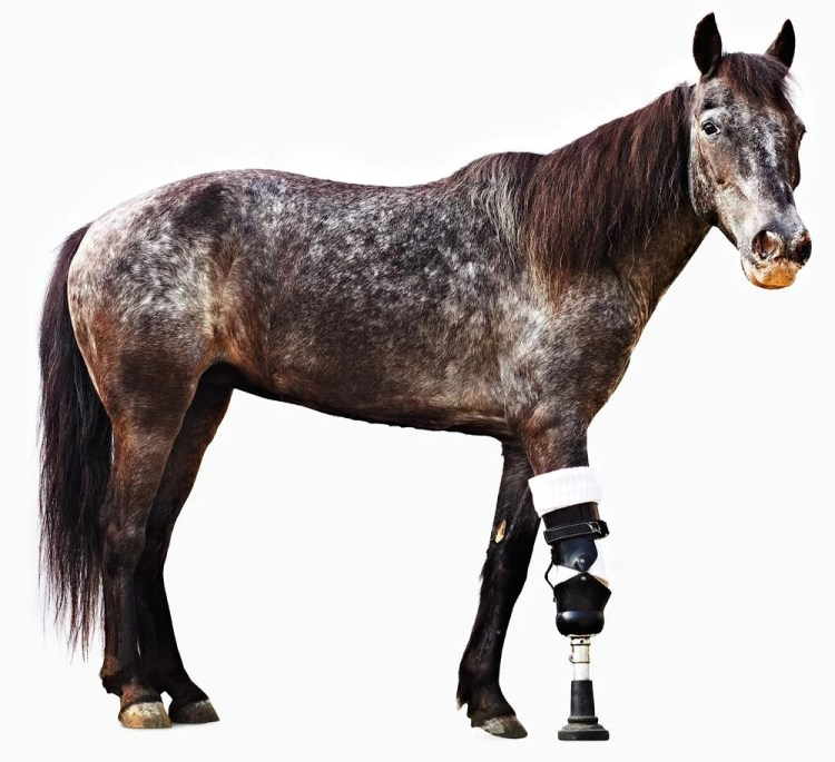 Prosthetics for horses - A seccond chance