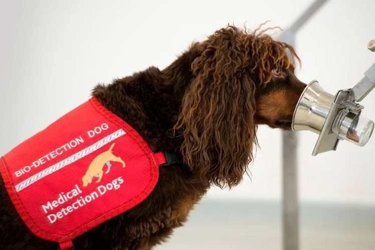 Entrenamiento de perros para detectar coronavirus o covid-19