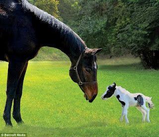 Caballo grande y caballo el caballo más pequeño del mundo