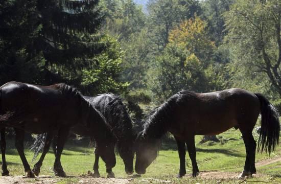 Galician wild horses in their natural habitat