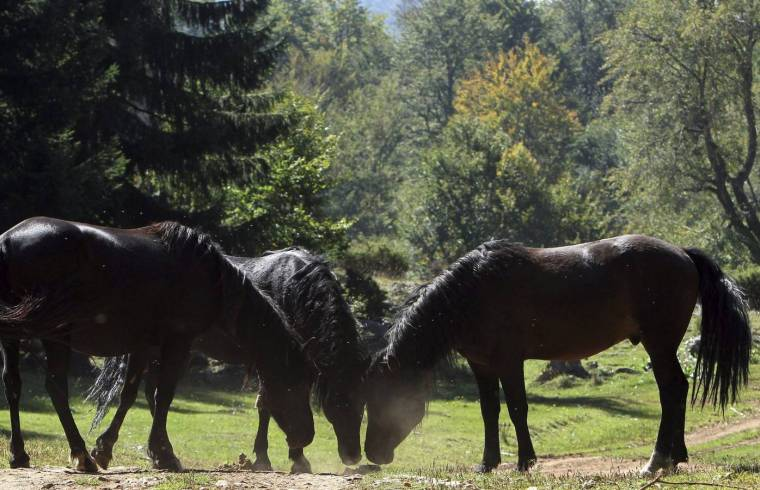 Galician wild horses in their natural habitat