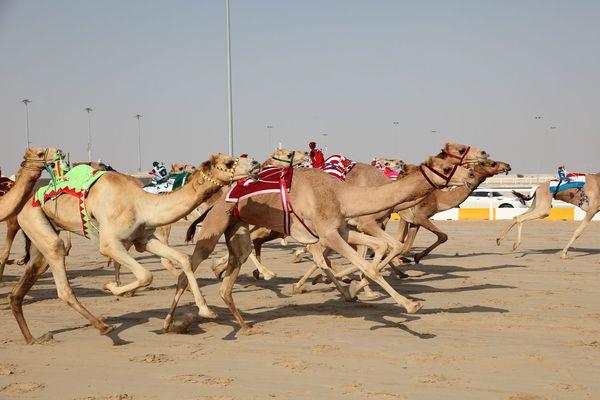 Camel racing. Dubai National Sport